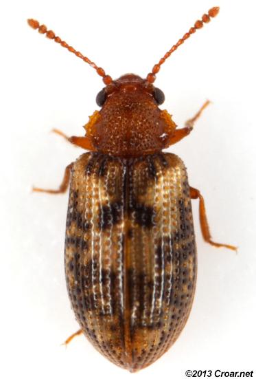 Derodontid - Derodontus esotericus