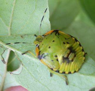 my mystery bug - Chinavia hilaris