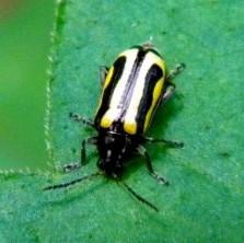 Beetle ID - Agasicles hygrophila
