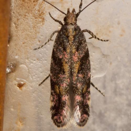 Ruby Aristotelia Moth - Hodges #1762 - Aristotelia rubidella