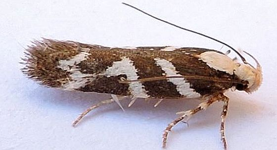 Arizona Moth - Filatima albilorella