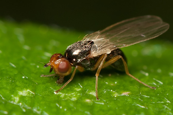 Rust Fly - Psila