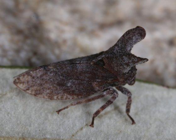Planthopper - Microcentrus perditus