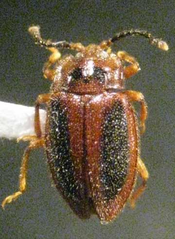 beetle - Epipocus punctatus
