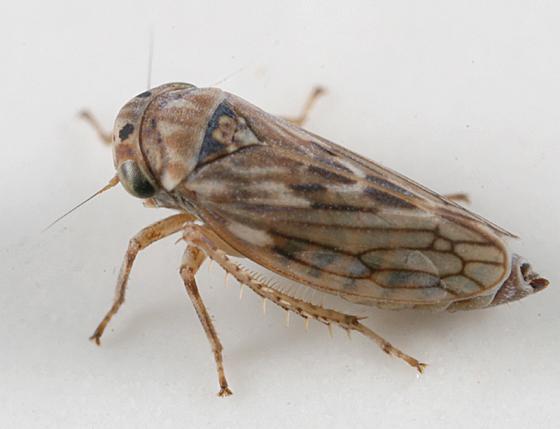 leafhopper - Ceratagallia humilis