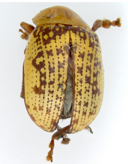 Sumac Flea Beetle, dorsal - Blepharida rhois