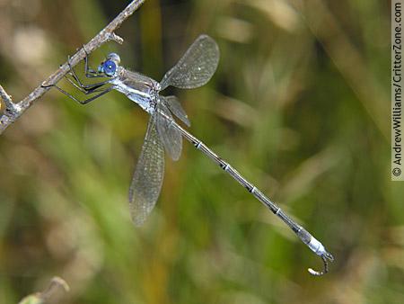 Great Spreadwing Damselfly - Archilestes grandis - male