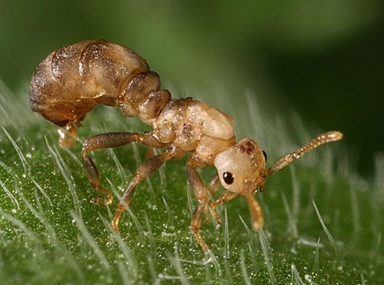 Ant?? - Anergates atratulus