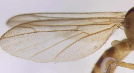 Ditomyiidae - wing - Symmerus lautus - male
