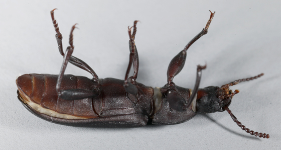 Darkling Beetle - Tenebrio obscurus
