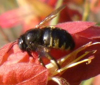 Bee ID - Xylocopa tabaniformis - female