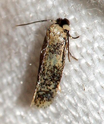Tinea species? - Zimmermannia