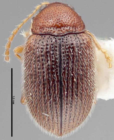 Epitrix humeralis - female
