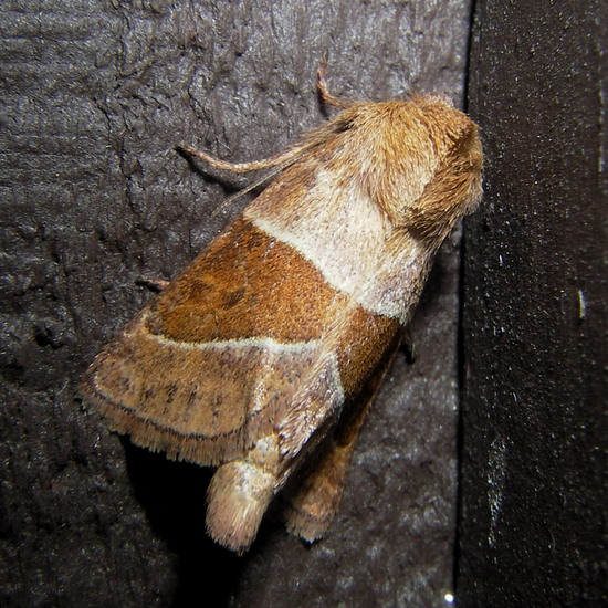 September moth - Lemmeria digitalis