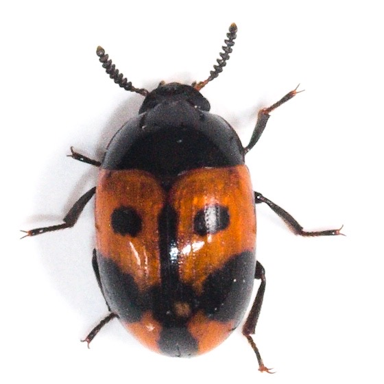 Two Spotted beetle - Diaperis maculata