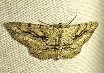 Moth - Glena nigricaria