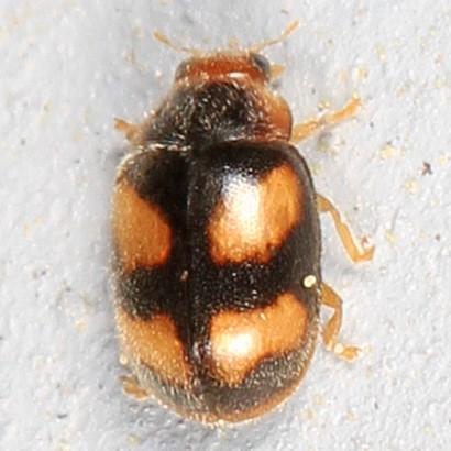 tiny beetle - Diomus amabilis