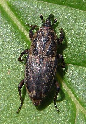 unknown billbug - Sphenophorus venatus
