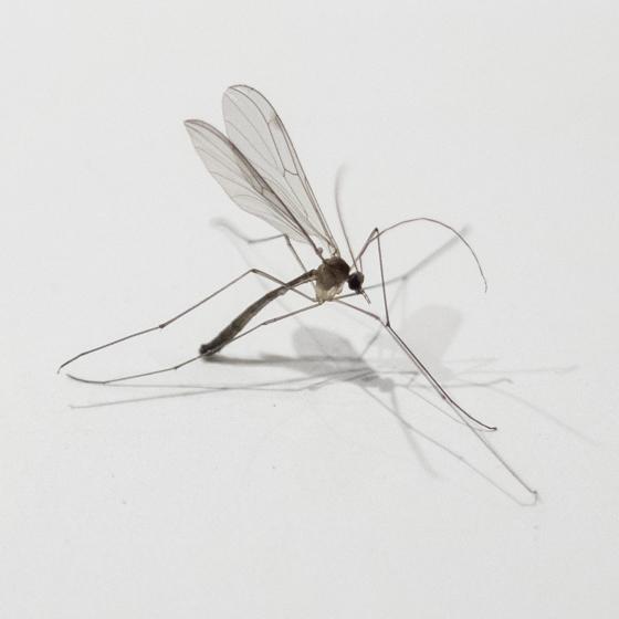 Tiny fly in mating swarm. - Bolitophila