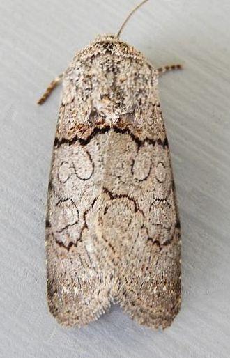 Arizona Moth - Sympistis sorapis