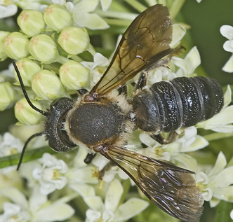 7011778 - Megachile sculpturalis - male