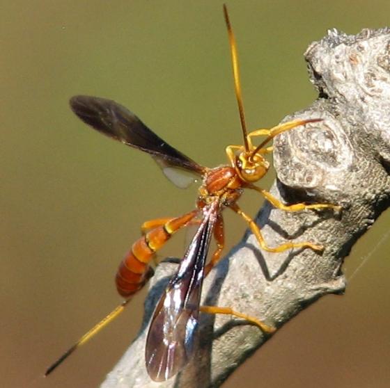 Ichneumon - Labena grallator - female