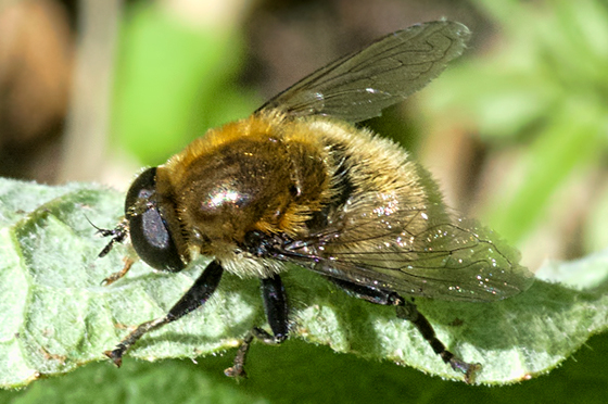 Narcissus Bulb Fly - Merodon equestris - male