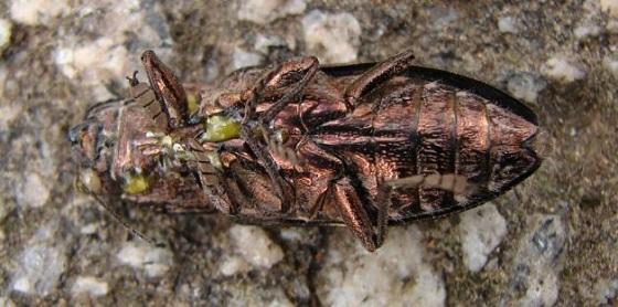 Metallic Wood-boring Beetle - Chalcophora