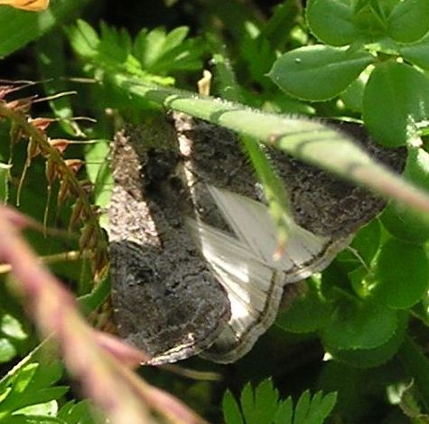 Moth - Spodoptera frugiperda - female