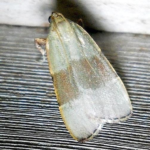 Basacallis tarachodes ? - Basacallis tarachodes