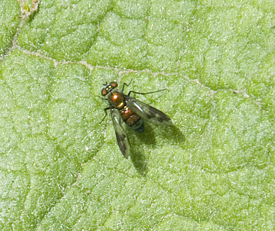 metallic fly - Condylostylus patibulatus