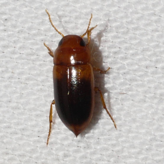 Predaceous Diving Beetle - Celina hubbelli