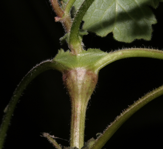Stem Gall on Leafcup