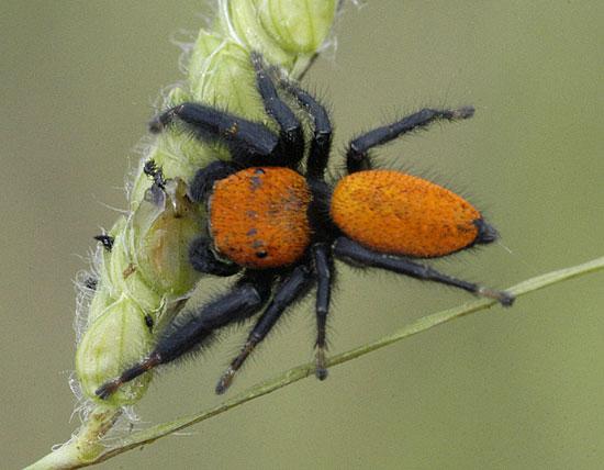 Phidippus apacheanus - male