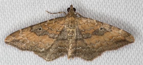 Bioblitz Moth #28 - Orthonama obstipata