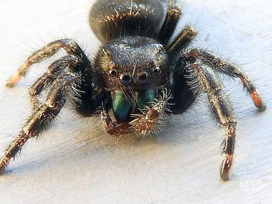 Pennsylvania Jumping Spider - Phidippus audax