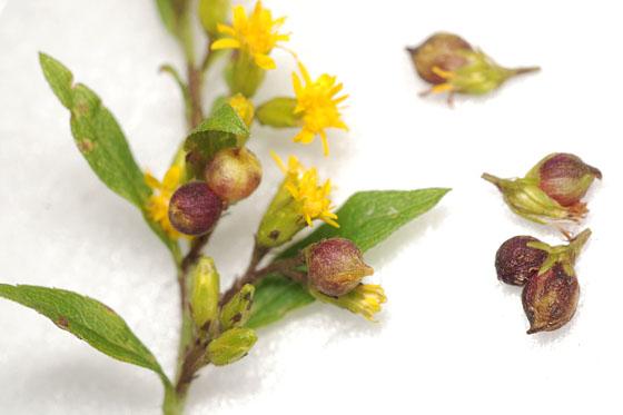 goldenrod flower galls - Schizomyia racemicola
