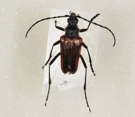 Longhorn beetle ID request - Pachyta lamed