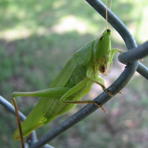conehead katydid - Neoconocephalus triops - female