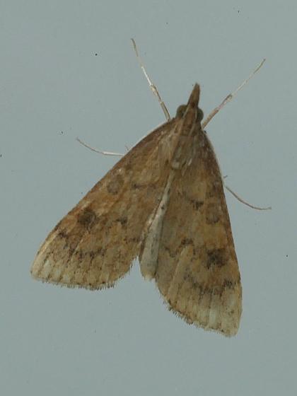 Brown snout moth - Udea rubigalis