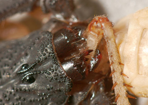 Banana Scorpion/slenderbrown scorpion - Centruroides gracilis