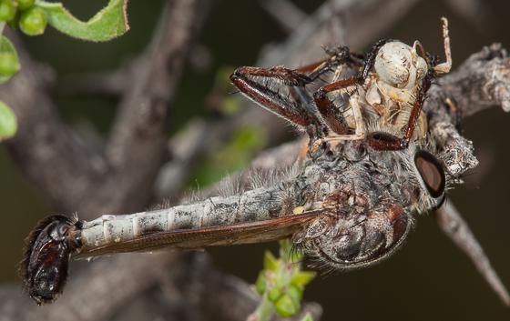 Robberfly - Efferia tagax - male
