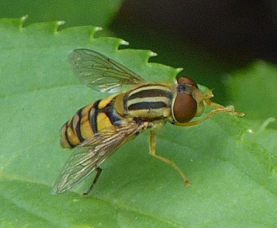 Syrphidae - Genus Helophilus? - Parhelophilus