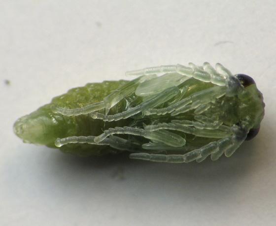 Sawfly larvae on rose bush in December - Cladius difformis - male