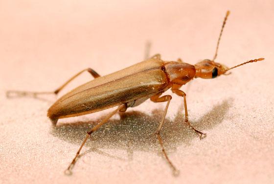false leptura beetle - Cephaloon lepturides