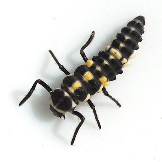 larva - Cycloneda munda