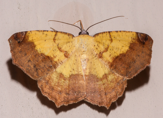 Variable Antepione - Antepione thisoaria