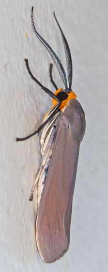 MothTBID07152014_1194 - Lymire edwardsii