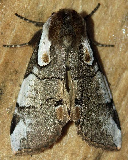 Cool looking moth - Euthyatira lorata