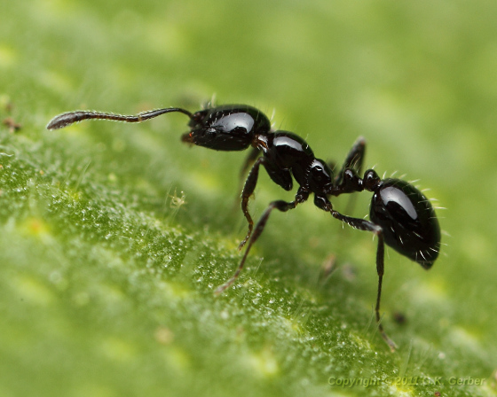 Small Black Ant - Monomorium minimum - female